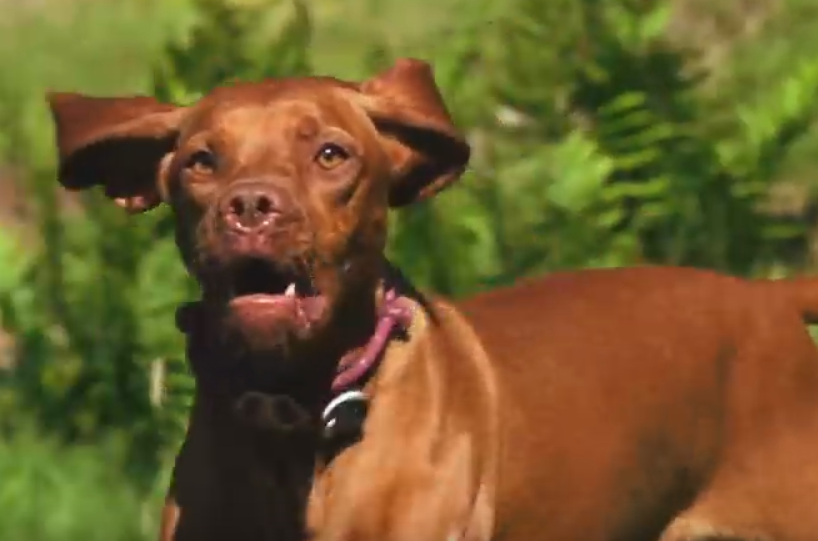 Video: Ruby Certified Ripper Hungarian Vizsla Trail Dog