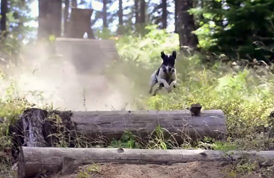 Video: Lily Shred Jack Russell Trail Dog Chasing Bikes