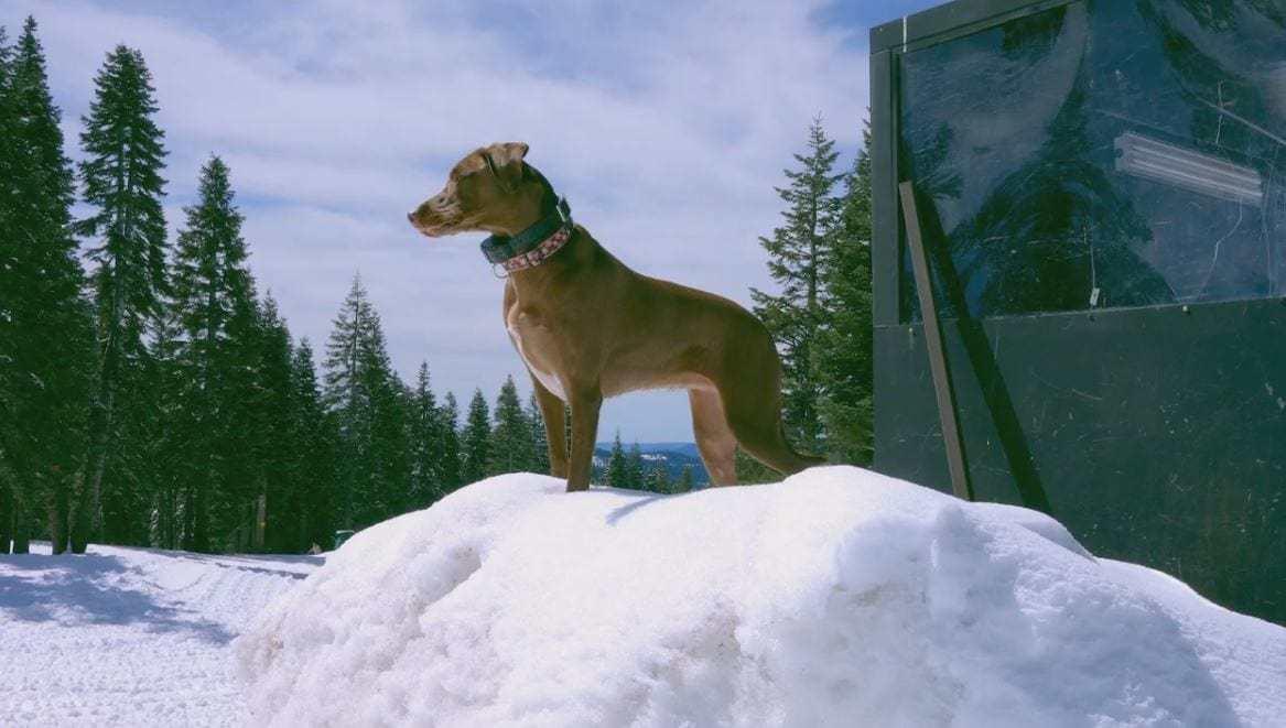 Bailey Snow Trail Dog